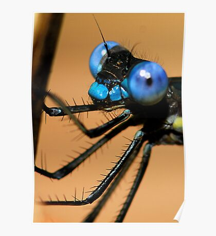 Lil' Blue Eyes - - Archilestes grandis  (Great Spreadwing damselfly) Poster