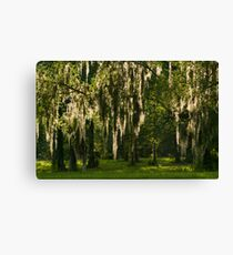 Sunlight Streaming through Spanish Moss Canvas Print