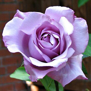 Sunlit Blue Moon Rose by BlueMoonRose