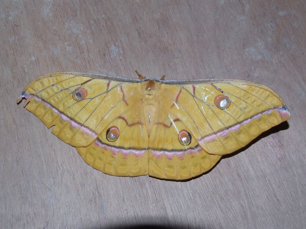 Butterfly - approx 15cm wide - Borneo by David Meyer
