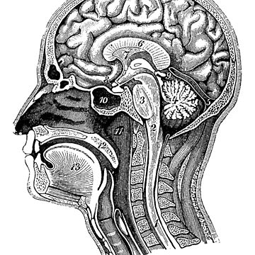 Anatomical Brain Drawing by Zehda