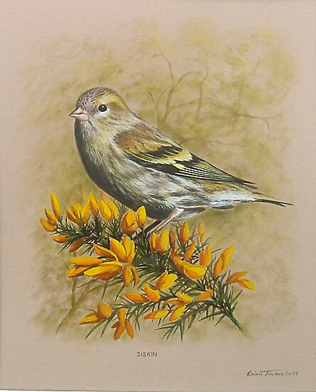 Siskin bird by Brian Towers