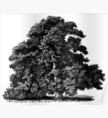 Sessile Oak Tree, Vintage Illustration Drawing Poster