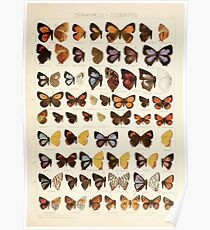 The Macrolepidoptera of the world a systematic account of all the known Butterflies Moths Adalbert Seitz V1 V3 1906 075 Zephyrus Cigaritis Poster