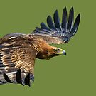 Magnificent Eagle by Dave  Knowles