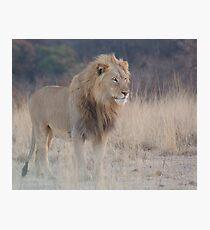 Male Lion Photographic Print
