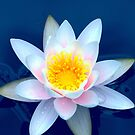 Lily On Blue by Michael Matthews