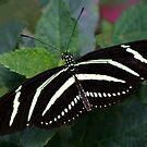 Zebra Longwing by Anne-Marie Bokslag