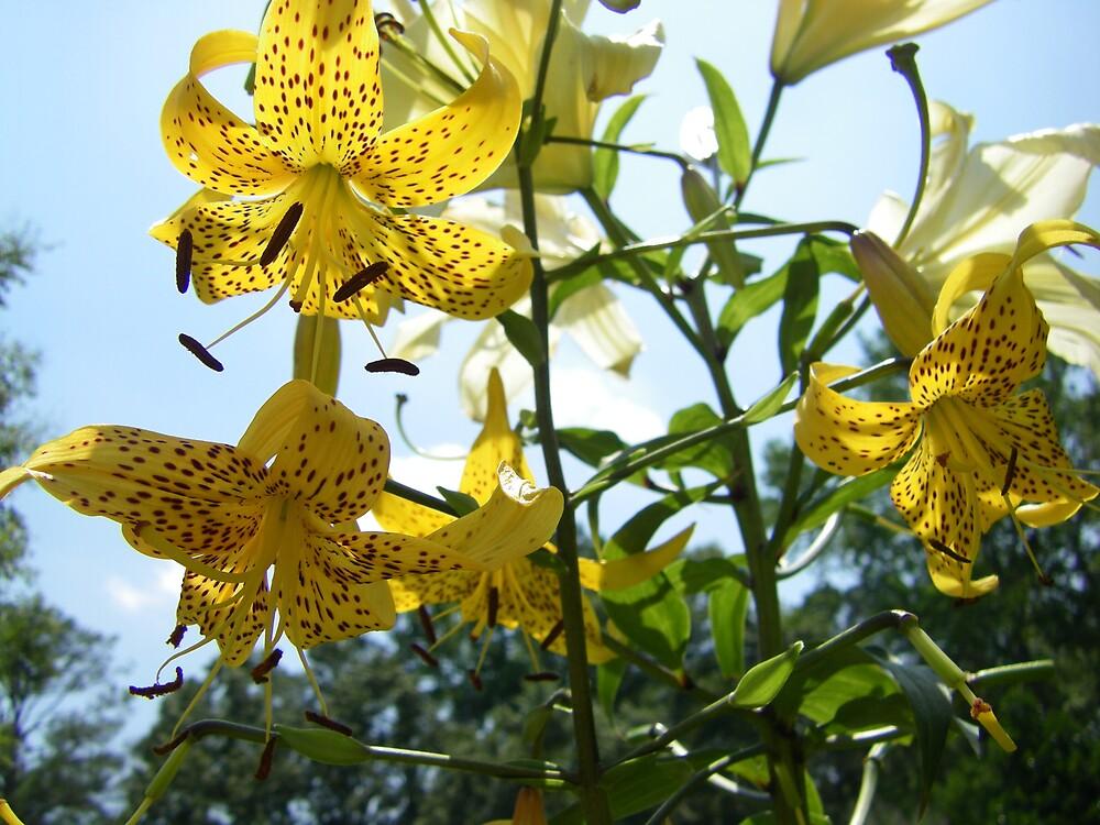 yellow lilies by Sheila McCrea
