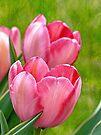 Pink Tulips by FrankieCat