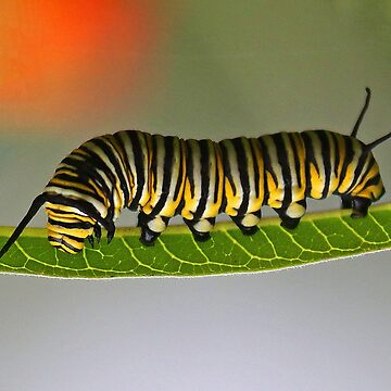 Monarch Butterfly Caterpillar by jozi1