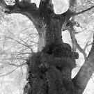 The Old Maple (English Camp, San Juan Island, Washington) by Anthony DiMichele