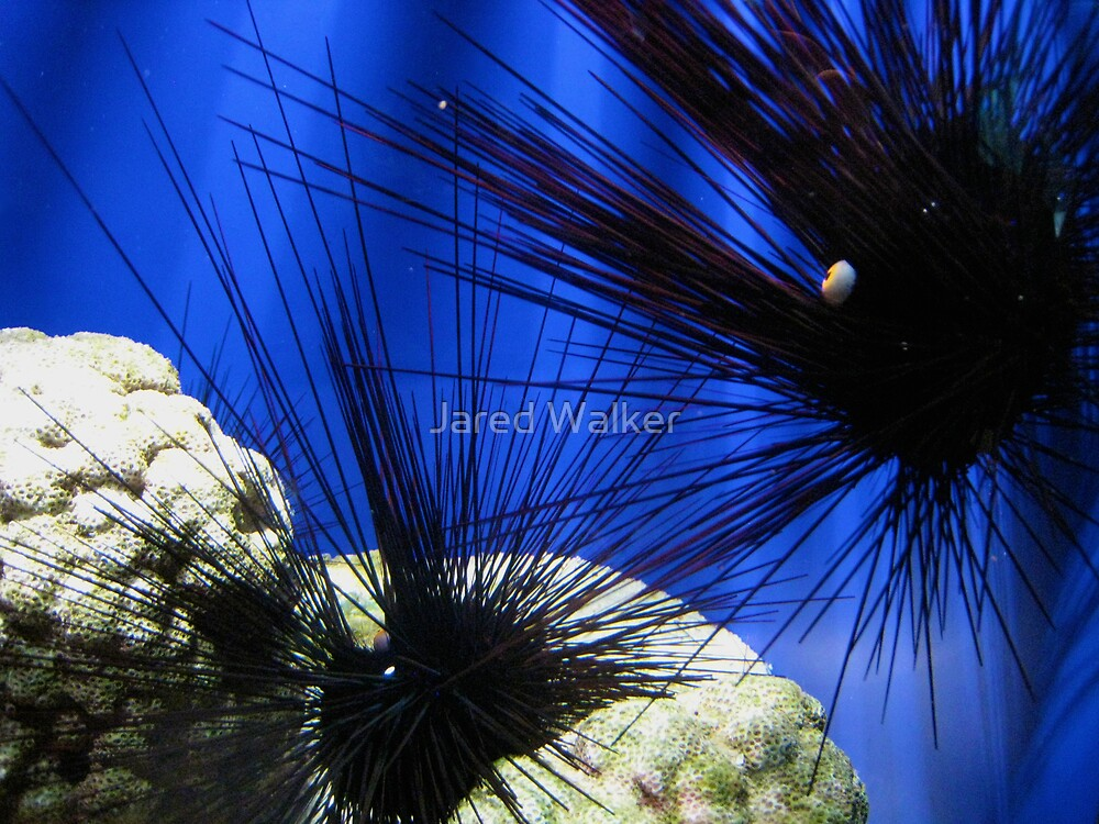 Sea Urchin by Jared Walker