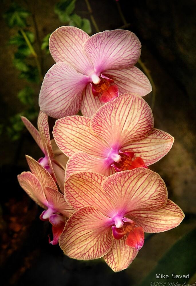 Phalaenopsis - A set of beauties by Michael Savad