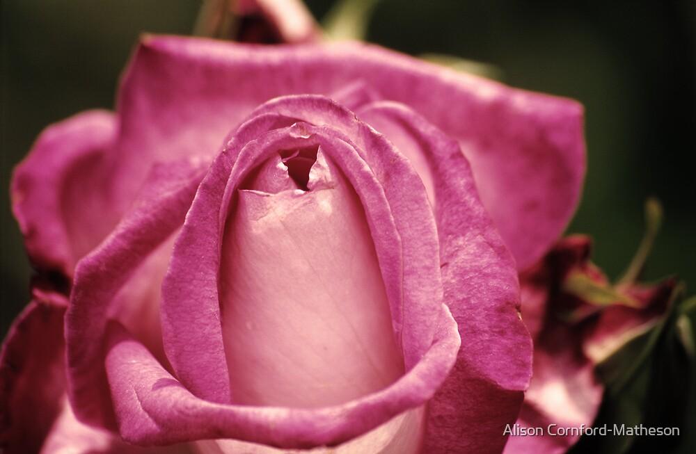 Vintage Pink Rose by Alison Cornford-Matheson