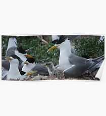 Crested Tern With Chick Poster