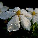 Daisy Gardenia by Jonicool