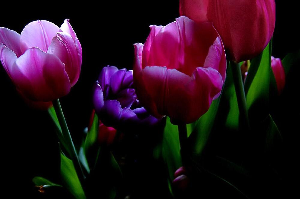 Tulip Fever by longshot