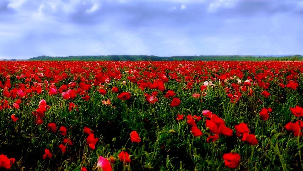Field of Poppies by longshot
