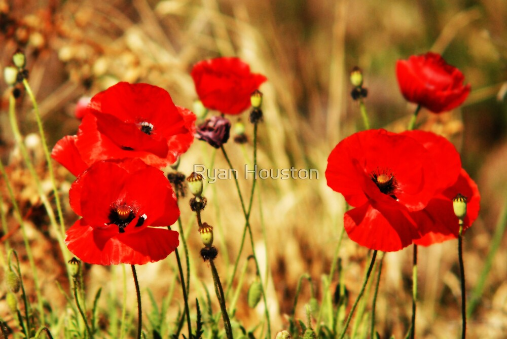 """Red Poppies - """"Summer Glow"""" by Ryan Houston"""