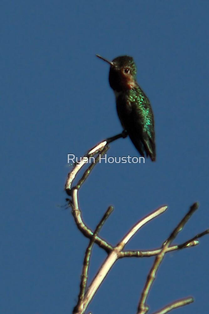 "Black-Chinned Hummingbird - ""Scanning the Skies"" by Ryan Houston"