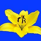 Lovely Lemon Lily on Blue Background by SunriseRose