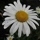 Big Daisy by GImages