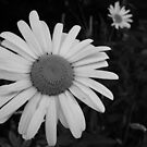 Daisy at Night by GImages