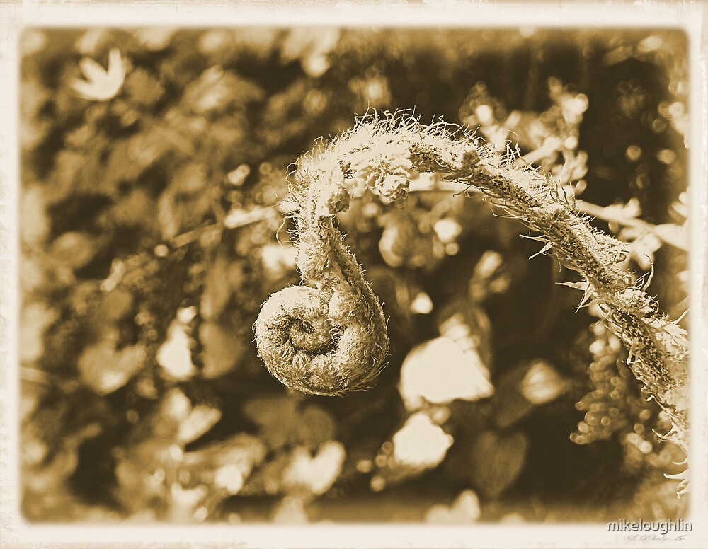 Curling fern by mikeloughlin