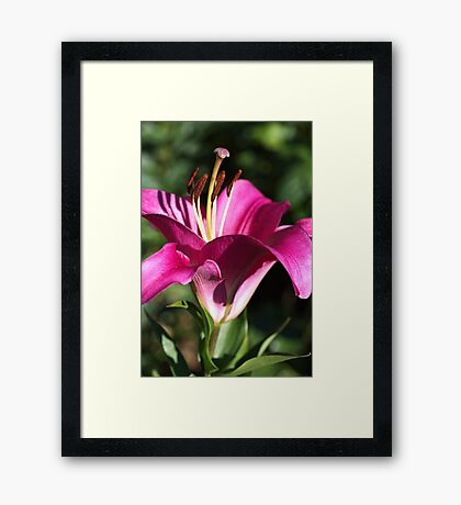 Flowering Pink Lily Framed Print