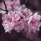 Pink Blossom of Prunus  by Joy Watson