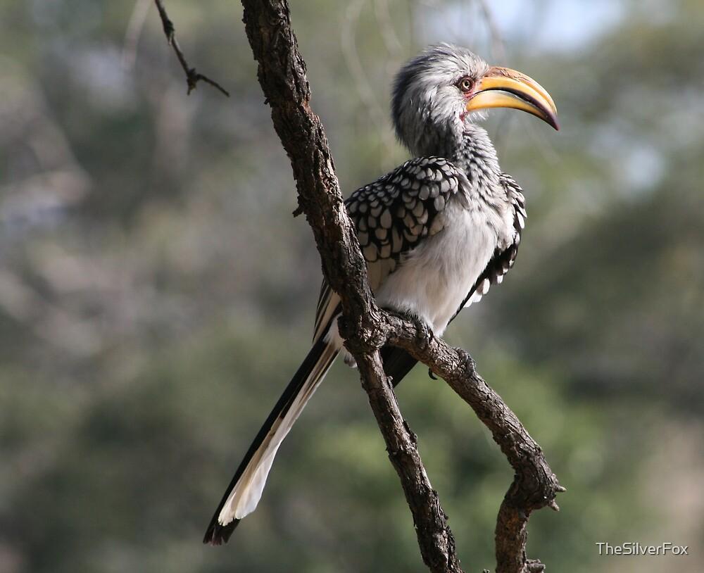 Hornbill by TheSilverFox