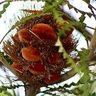 Banksia Seed Pod by myraj