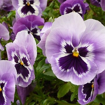 Pansies by Mikoni