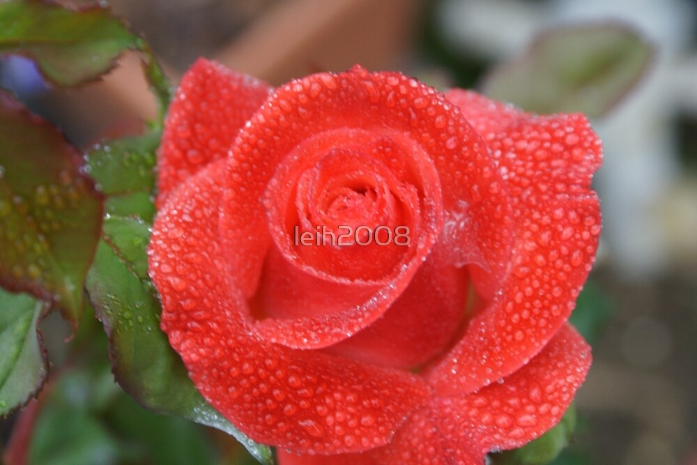 Blossom refreshed in the morning dew - La Mirada, CA USA (Read Description) by leih2008