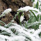 Snow Drops by Wrigglefish