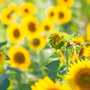 Garden of Sunflowers by 75tiks