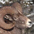 Bighorn Ram Portrait by naturalnomad