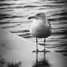 Jackson Street Pier Seagull by Shawna Rowe