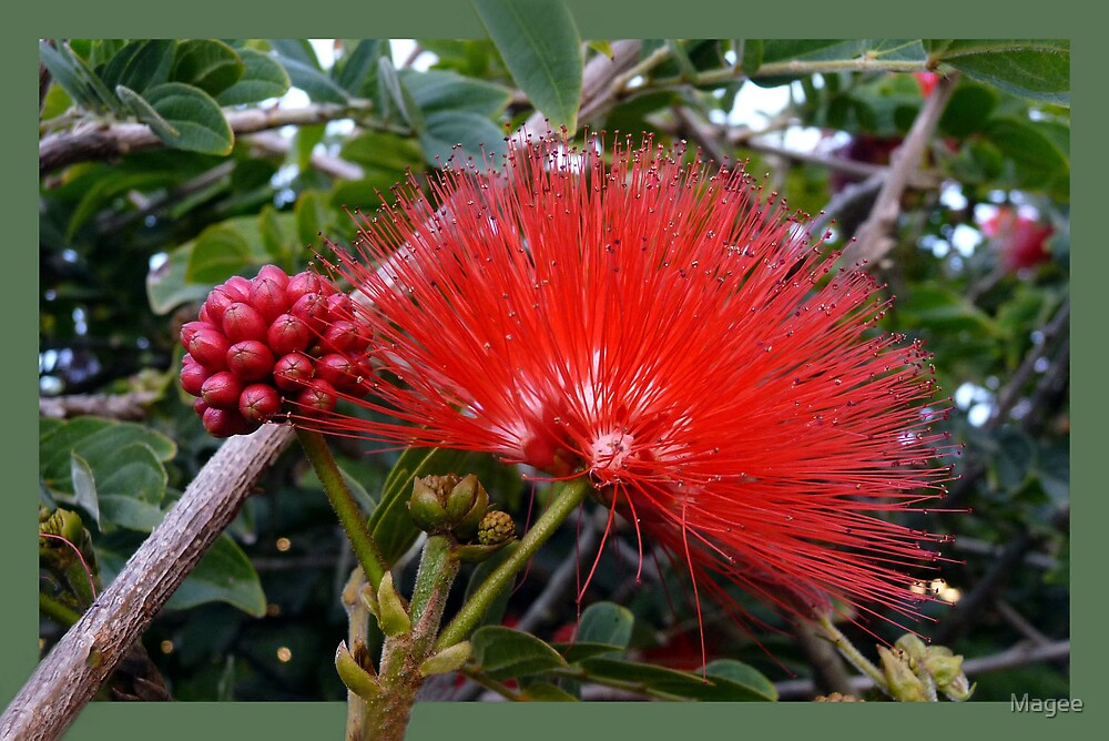 Red Powder Puff by Magee