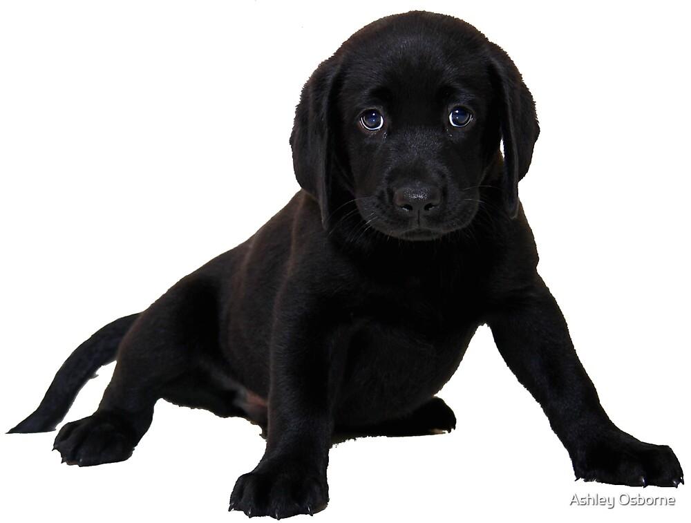 Black Labrador  by Ashley Osborne