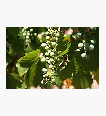 Grape Photographic Print