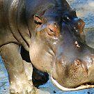 Hippopotamus Amphibius by hans p olsen