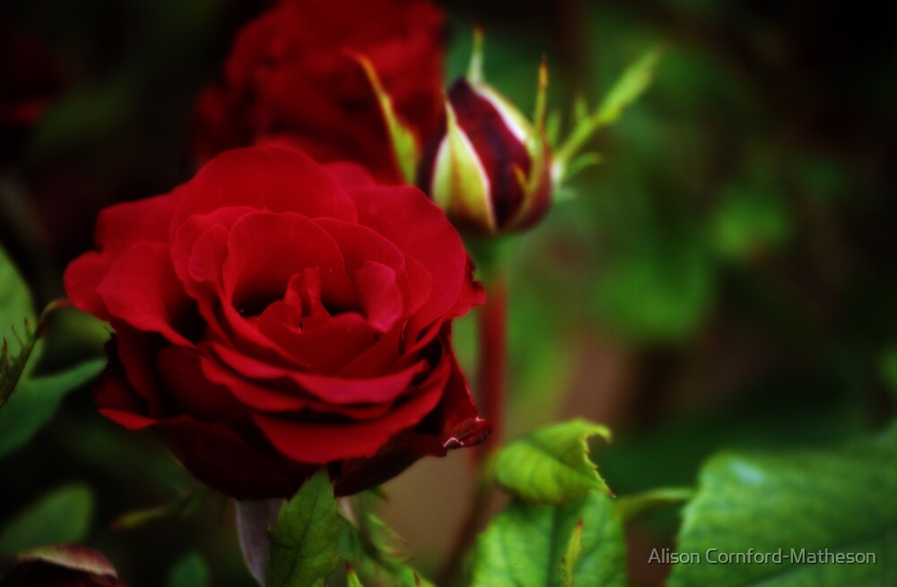Red Rose, Spain by Alison Cornford-Matheson