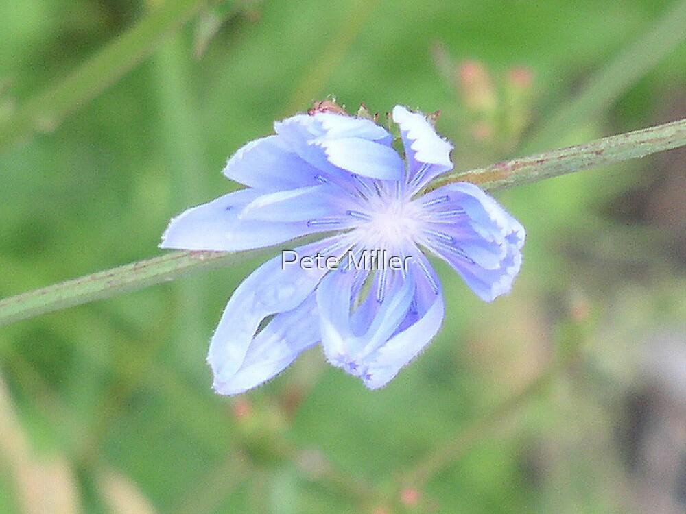 Blue Wildflower by Pete Miller