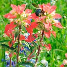 Bee on Indian Paintbrush by Mary Campbell