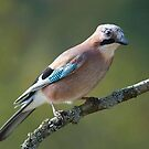 Eurasian Jay Perched On A Branch by taiche