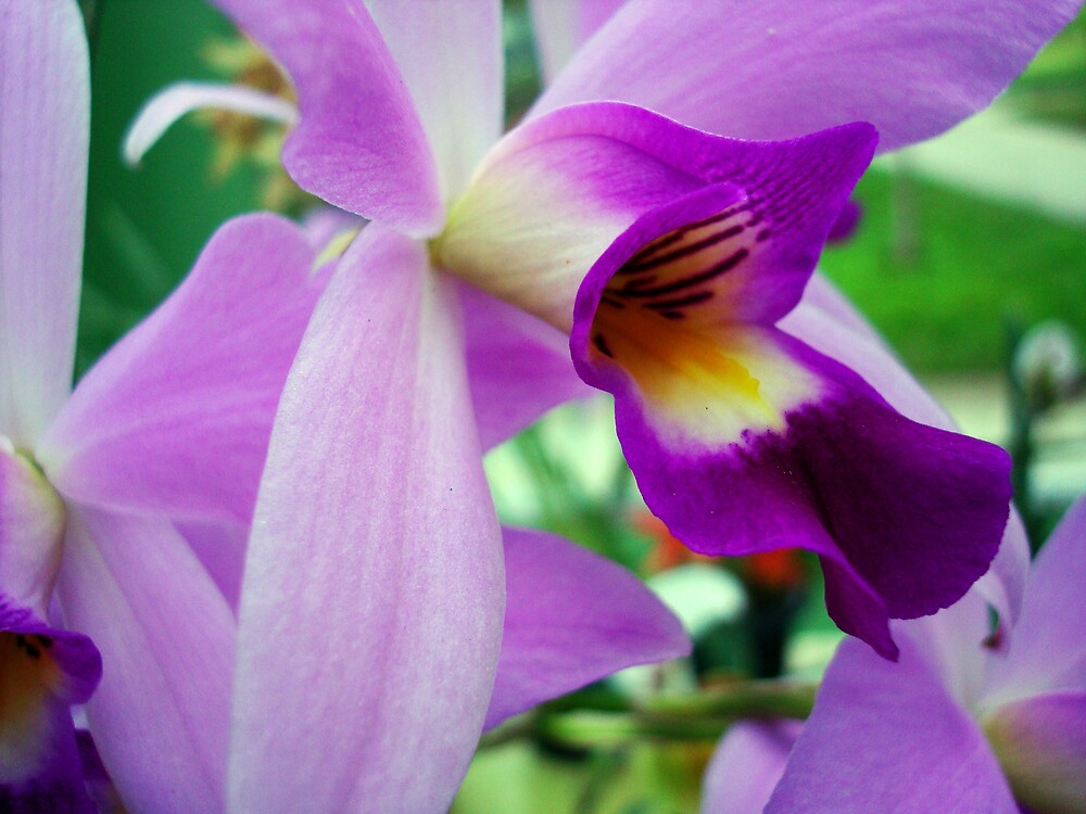 Orchid by femourao