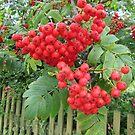 Rowan Berries In August by lezvee