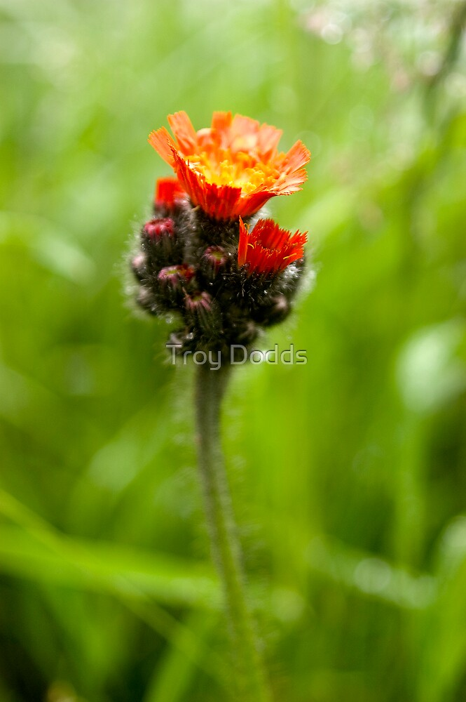 Indian Paintbrush by Troy Dodds